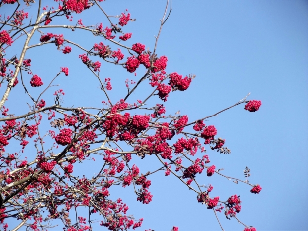 Autumn - Rowan Berries