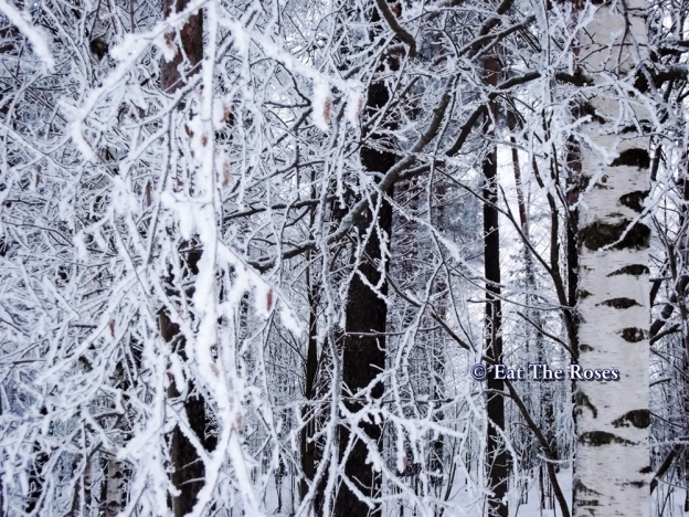 Birches and snow ETR